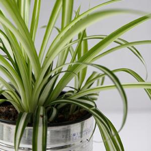 spider_plant-6f9bc529bcce60fa617e383382d9a7355c693f8bdbc9d47b57da6180785f0c22